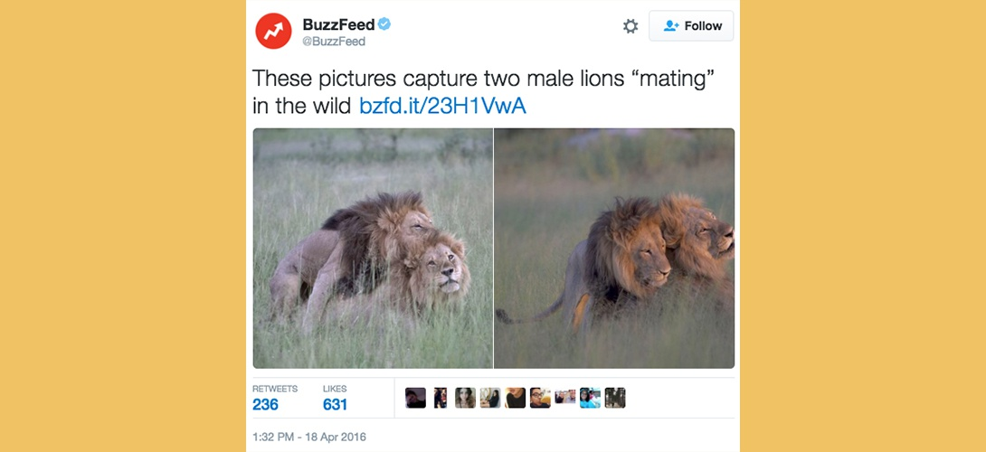 Une photographe belge capture l'intimité d'un couple de lions mâles. Blog photo Zoom'Up